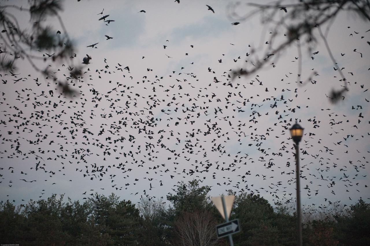 murders of crows 1-4-09-13