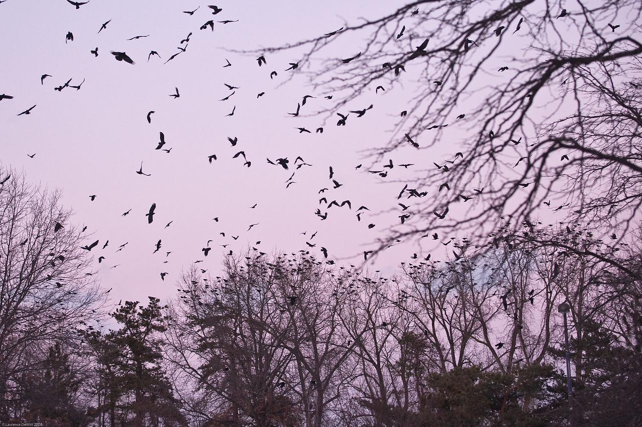 murders of crows 1-4-09-7