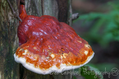 Hemlock Varnish Shelf Mushroom