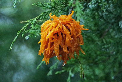 Cedar Apple Rust Gall Fungus