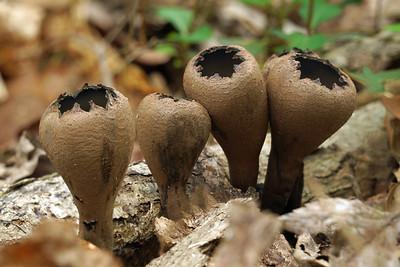 Devil's Urn Mushroom