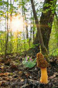 Morel Mushroom and Showy Orchis