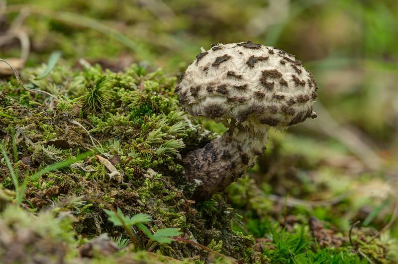 Old Man of the Woods Mushroom