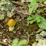 Small Yellow Amanita