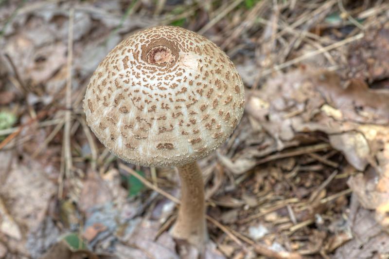 Parasol Mushroom Camoflauged