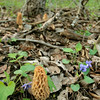 Multiple Morel Mushrooms, do you see them all?