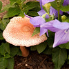 Pretty little mushroom growing in the Balloon flowers.