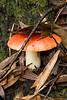 MushroomSWC-0198
