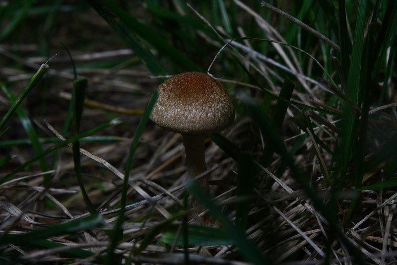 This small mushroom is very photogenic.  It's challenging to get the grass out of the way.