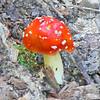 Fly Agaric (Amanita muscaria) Mushroom