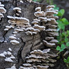 Stump Fungus