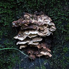 Shelf Fungus