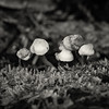 Tiny Mushrooms bw