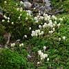 Coprinellus disseminatus? (a.k.a. Fairy Inkcap)