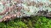 Trichaptum biforme (a.k.a. Violet Toothen Polypore) - top view