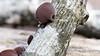 Auricularia Americana (a.k.a. Jelly Ear fungus, Wood Ear fungus)