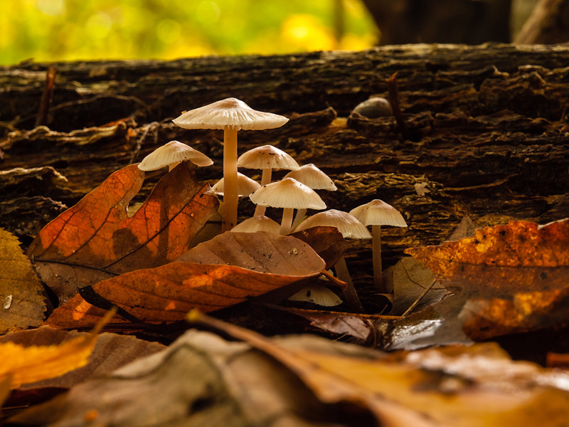 I found this little group as is in the Henderson Swasey town forest in Exeter. Because of the clouds and the intense wind in the trees, the light was very changable, but when it lit them up from behind, it was magical.