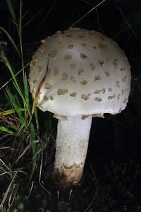 Mushroom- Backyard