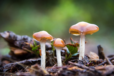 Wavy Caps, Psilocybe cyanescens, Olympia, Washington, USA