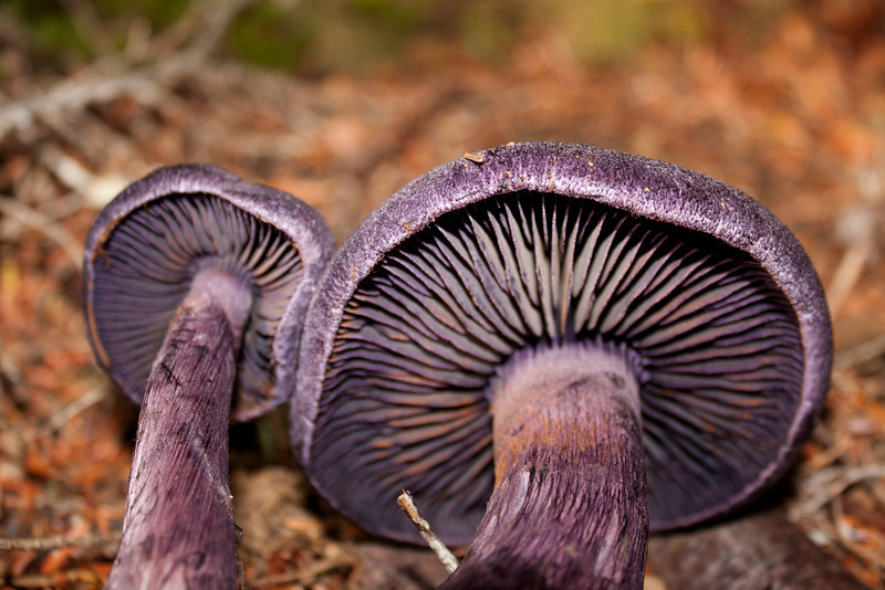The purple Cortinarius Mushroom