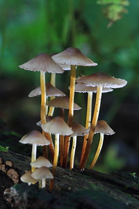 Common Mycena- Stanford Township Park