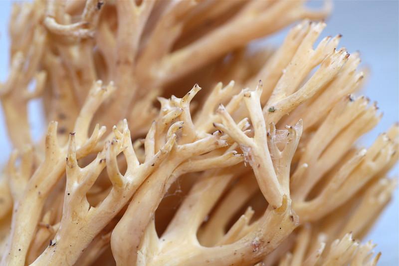 Ramaria Mushroom.