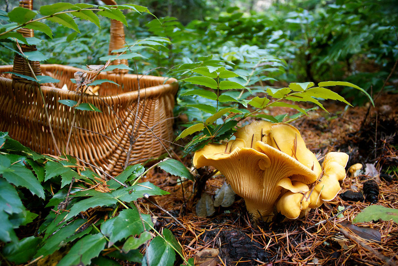 Cantharellus formosus, Golden Chanterelle