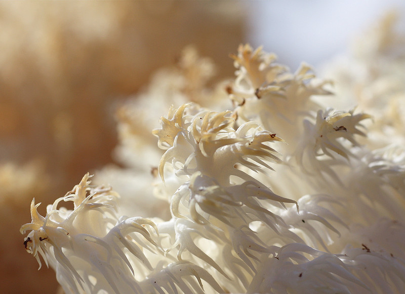 Hericium mushroom.
