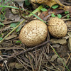 Tough-skinned puffball (Scleroderma citrinum) Very young ones.