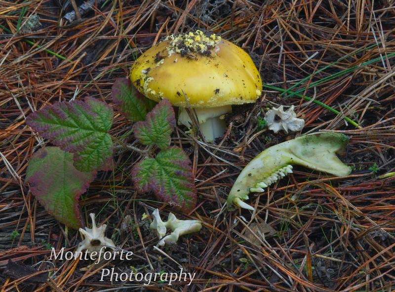 Bones of small animal and mushroom in Rip Van Winkle Park, Pacific Grove, California