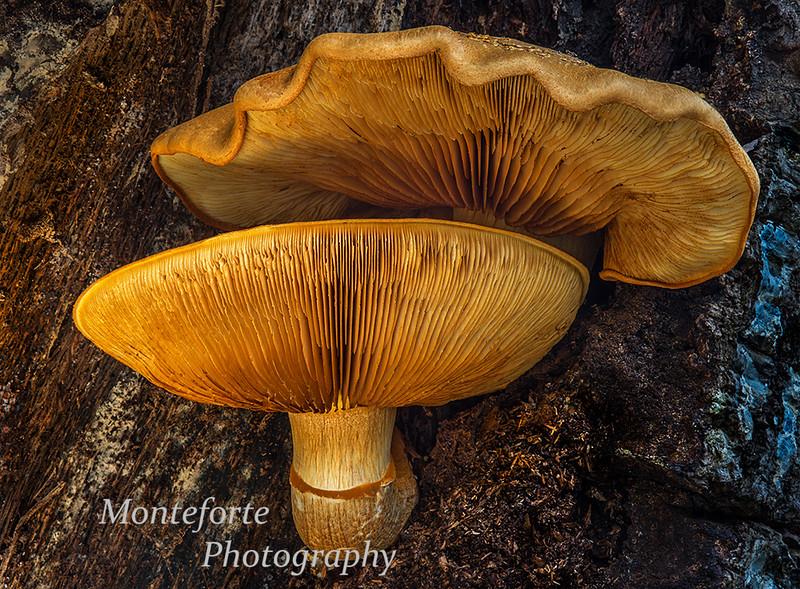 Underside of mushrooms growing on dead oak tree.