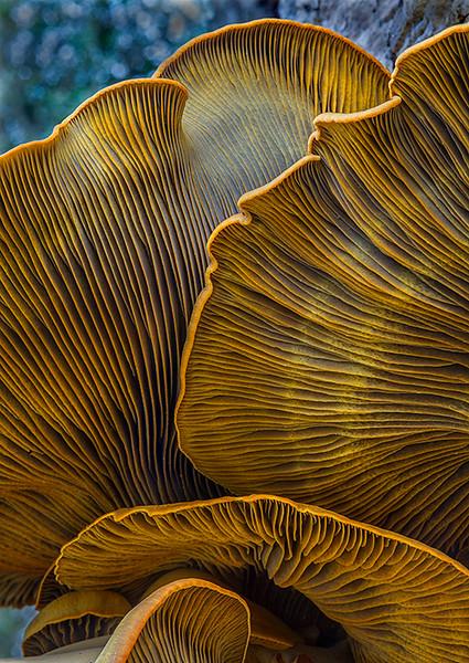 Underside of Jack O'Lantern mushroom.