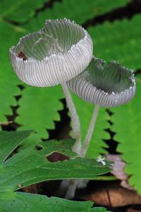 Delicate Mushrooms- Grams Regional Park