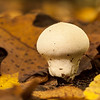 This time of year fallen leaves are such a perfect backdrop for mushrooms and other small things on the forest floor. OM 90mm at probably f8.