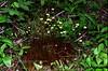 Z-MOSS-Splacnum luteum 1999.6.29#7. Moose Dung Moss. The hub, Glennallen, Alaska.