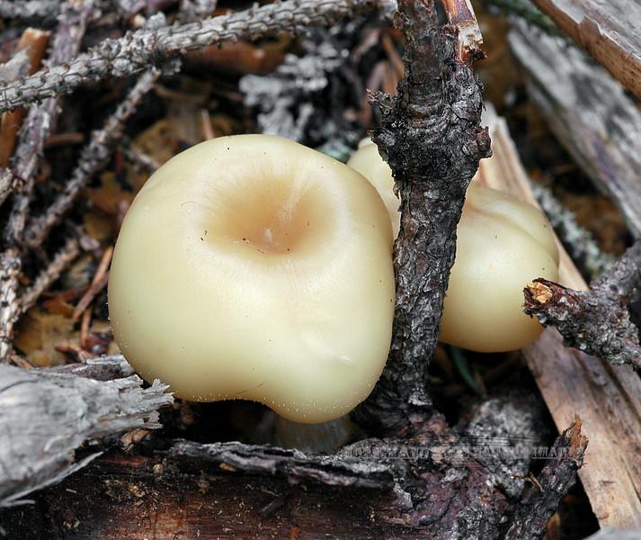 F-GILLED-Hygrocybe virginea var. fuscescens 2005.8.26#0147.2. Snowy Wax Cap. Near bertha Creek, Kenai Peninsula Alaska.