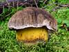 FM-Boletus coniferarum 2010.8.20#007. The Conifer Bolete. Winner Creek, Chugach Forest, Girdwood Alaska.