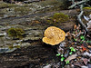 F-BRACKET FUNGI-Cerioporus (Polyporus) squamosus 2008.4.26#098.2X. Dryad's Saddle on an ancient old Oak log. On Rapp Creek near Beaver Run, Bucks County Pennsylvania.