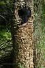 F-BRACKET FUNGI-Inonotus obliquus 2005.8.6#0060.2. Black Grungy. Palmer Creek, Kenai Mountains Alaska.