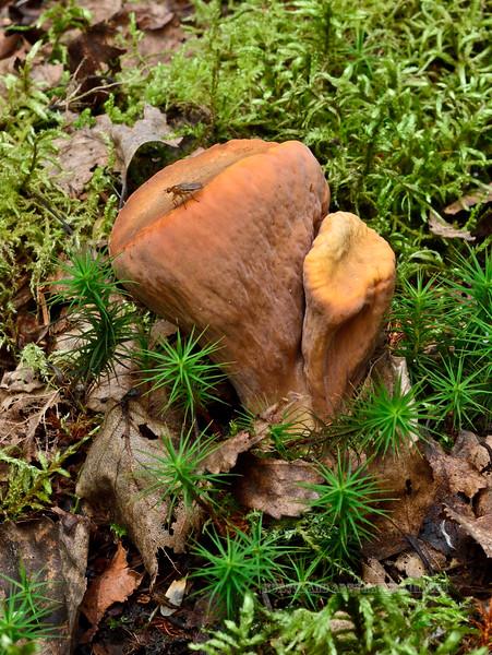 FM-Clavariadelphus truncatus 2014.8.17#081. Kinkaid Park, Anchorage Alaska.