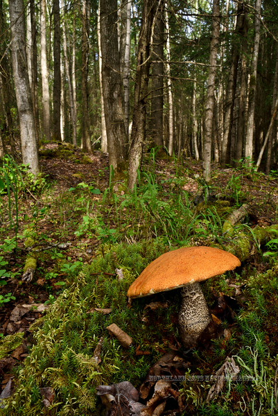 F-BOLETACEAE-Leccinum insigne 2014.8.9#242. The Birch Bolete in mixed Birch/Spruce forest. Kincaid Park, Anchorage Alaska.