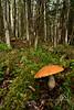 FM-Boletes-Leccinum insigne or aurantiacum 2014.8.9#242. Kincaid Park, Anchorage Alaska.