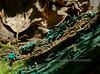 F-SAC FUNGI-Chlorociboria aeruginascens 2005.8.9#0095.3. Blue green Elf Cup. West of Little Campbell Lake in Kincaid Park, Anchorage Alaska.