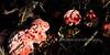 F-TOOTH FUNGI-Hydnellum peckii 2008.8.16#091. Common name is Strawberries & Cream. One of the really weird ones of the fungi kingdom. Horseshoe Lake Trail, Denali Park Alaska.