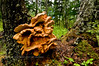 F-BRACKET FUNGI-Laetiporus sulphureus 2009.8.14#040. Now conifericola. Growing on a mature Sitka Spruce in the Kenai mountains above Hope Alaska.