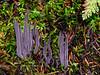 FM-Clavaria purpurea 2013.9.14#381. Winner Creek Chugach Foreat, Girdwood Alaska.