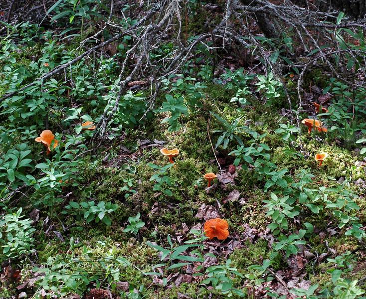 F-GILLED-Hygrophoropsis aurantiaca 2005.8.6#0211.3. False Chanterelle. Near Tern Lake, Kenai Peninsula Alaska.
