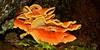 F-BRACKET FUNGI-Laetiporus sulphureus 2013.8.20#052. Now conifericola, The Chicken of the Woods or Sulphur Shelf. A mature fresh specimen at the best of it's prime. Winner Creek Chugach Forest, Girdwood Alaska.