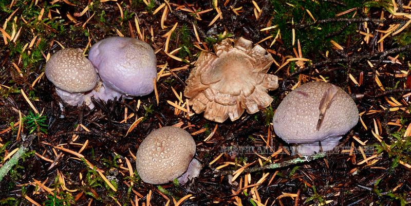 FM-Cortinarius traganus 2014.8.19#063. Palmer Creek near Hope, Kenai mountains Alaska.