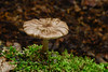 FM-Pluteus cervinus 2013.8.26#050. The Deer Mushroom. Kincaid Park, Anchorage Alaska.